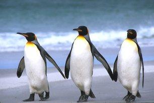 Falkland Islands. East Falkland Island. Sand beach. King penguins (Aptenodytes patagonicus).