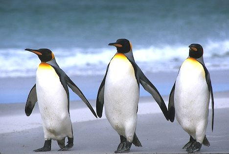 Falkland Islands. East Falkland Island. Sand beach. King penguins (Aptenodytes patagonicus).
